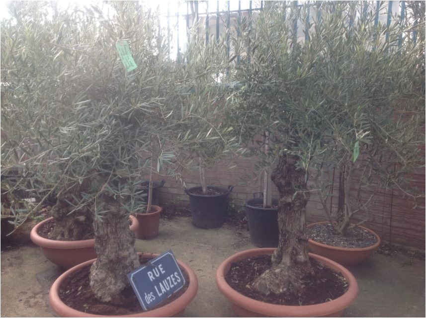 100 year old bonsai gnarly olive tree free delivery copy