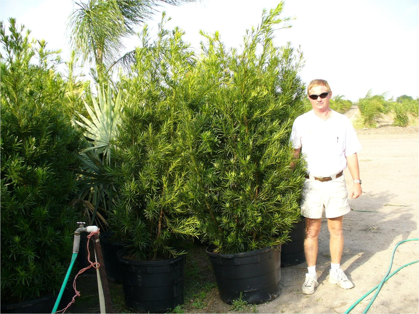 podocarpus 15 gallon