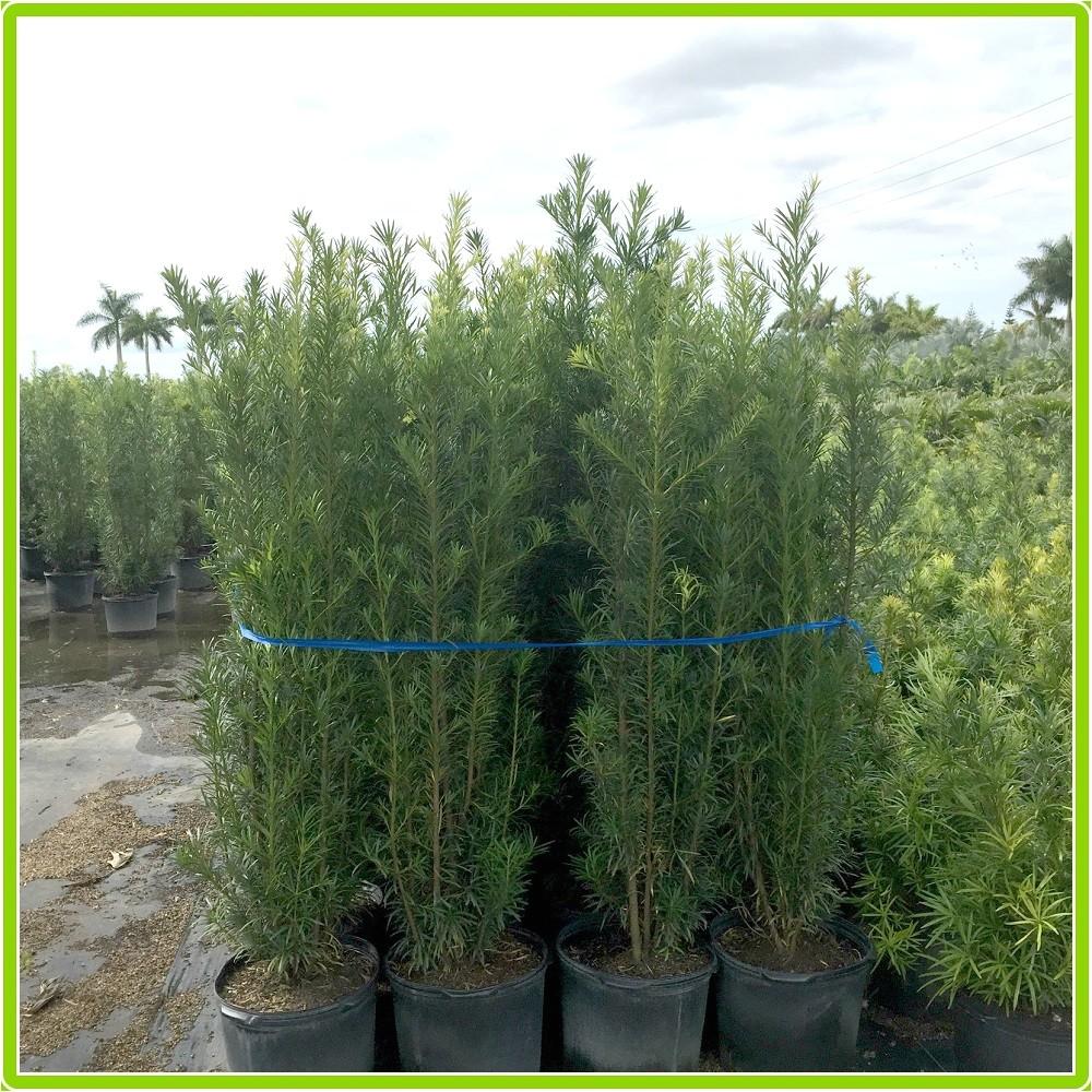 podocarpus hedge