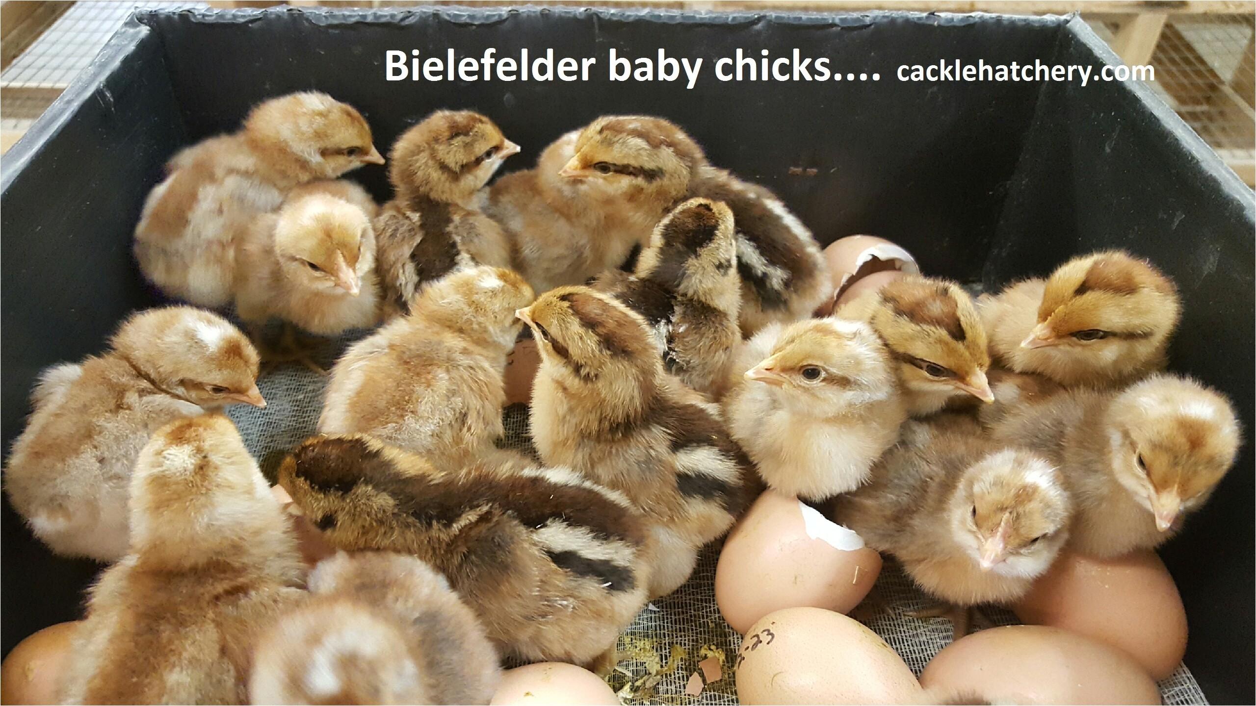 bielefelder chicken