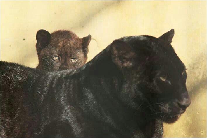 black panther animal cubs