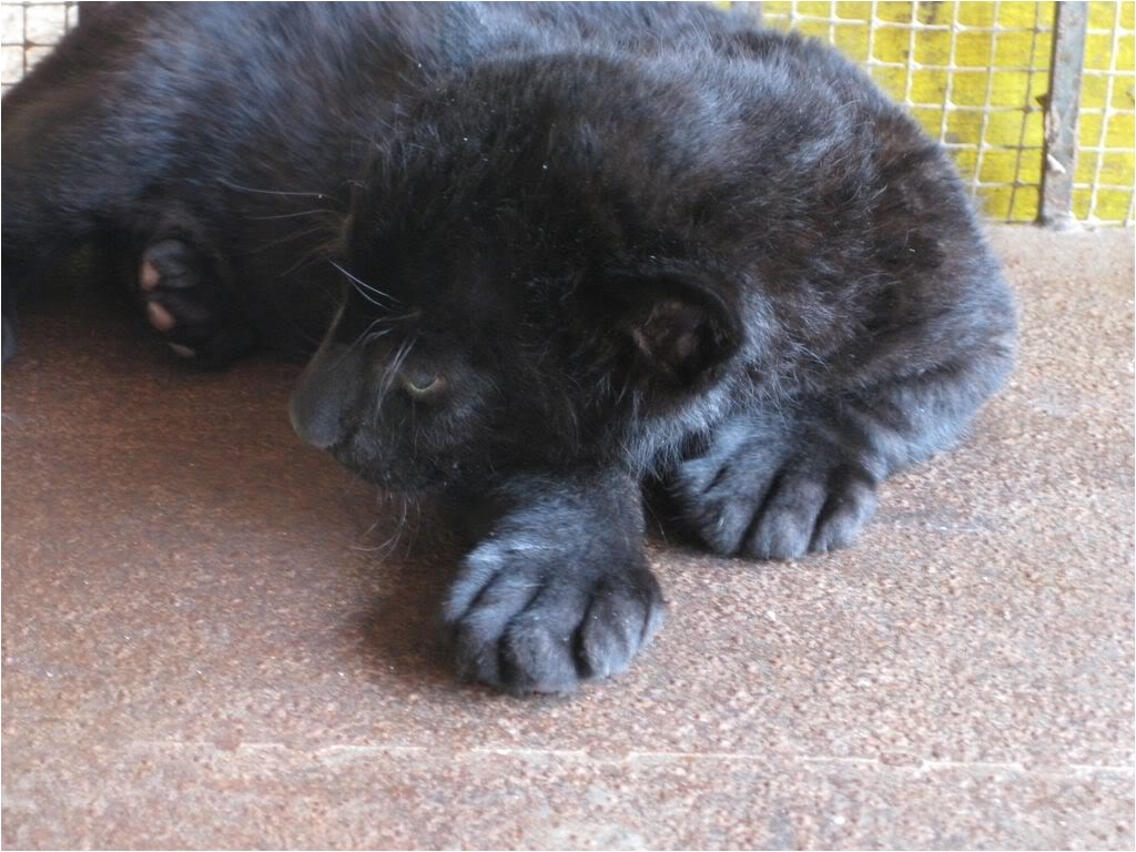 Black Panther Cubs for Sale Free Exotic Animal Classifieds Pets for Sale Local Pincher