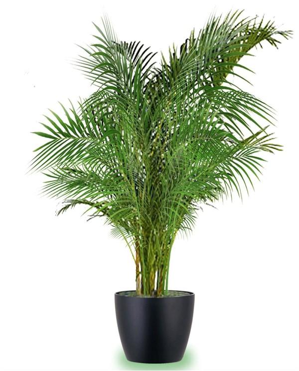 best large indoor plants tall houseplants