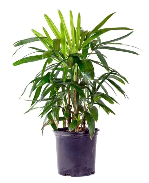 palm species houseplants rhapis excelsa is one of the most popular indoor palm trees