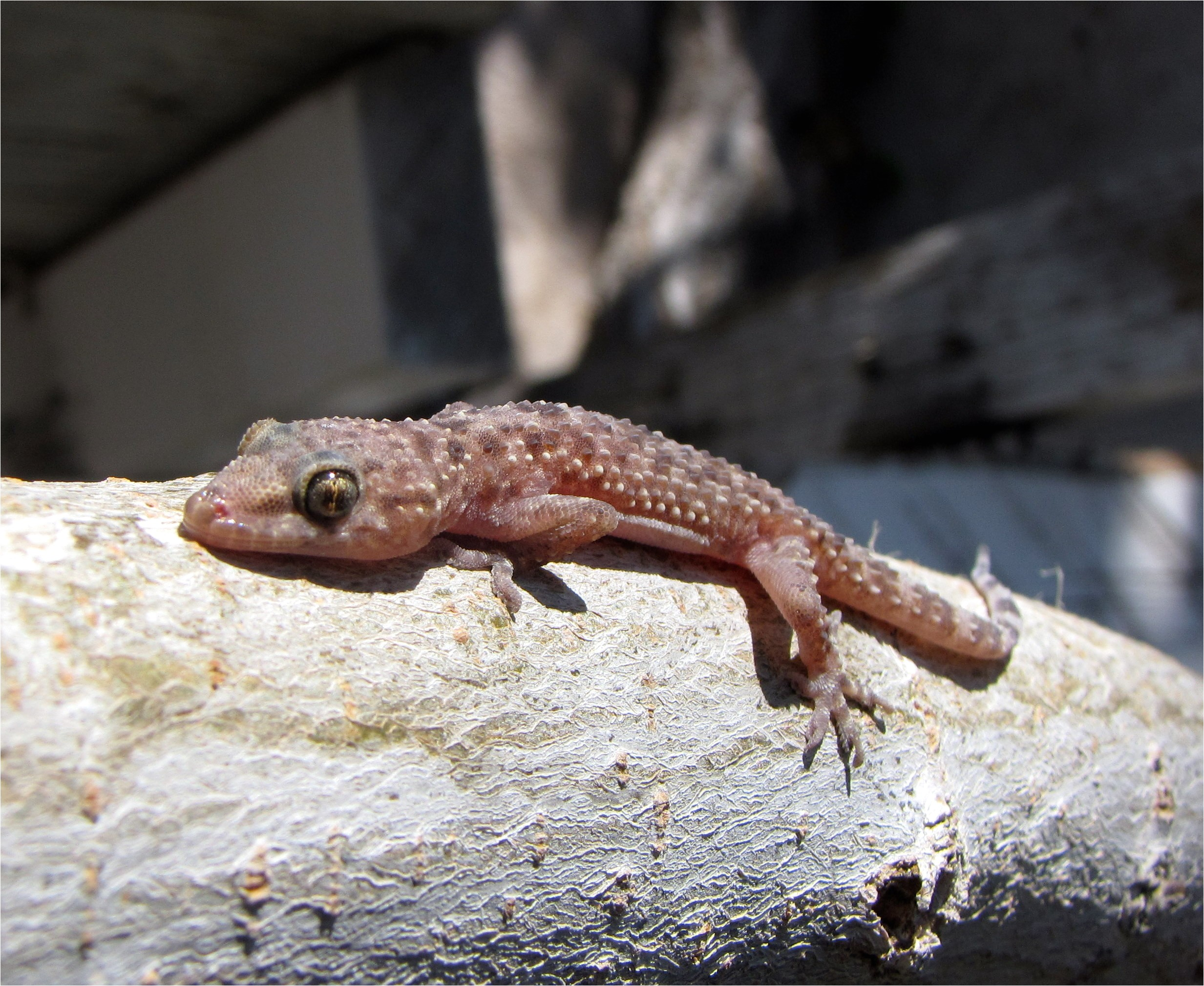gecko image by zoofari and used under the creative commons attribution sharealike 3 0 license