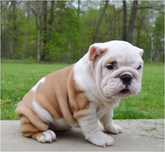 English Bulldogs for Sale In Ma English Bulldog Puppies for Sale Massachusetts Avenue