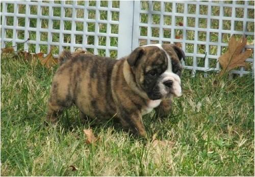 English Bulldogs for Sale In Ma Miniature English Bulldog Puppies for Sale Marlborough