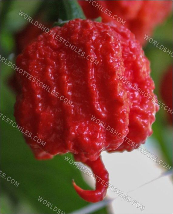 bulk fresh carolina reaper peppers biodynamic