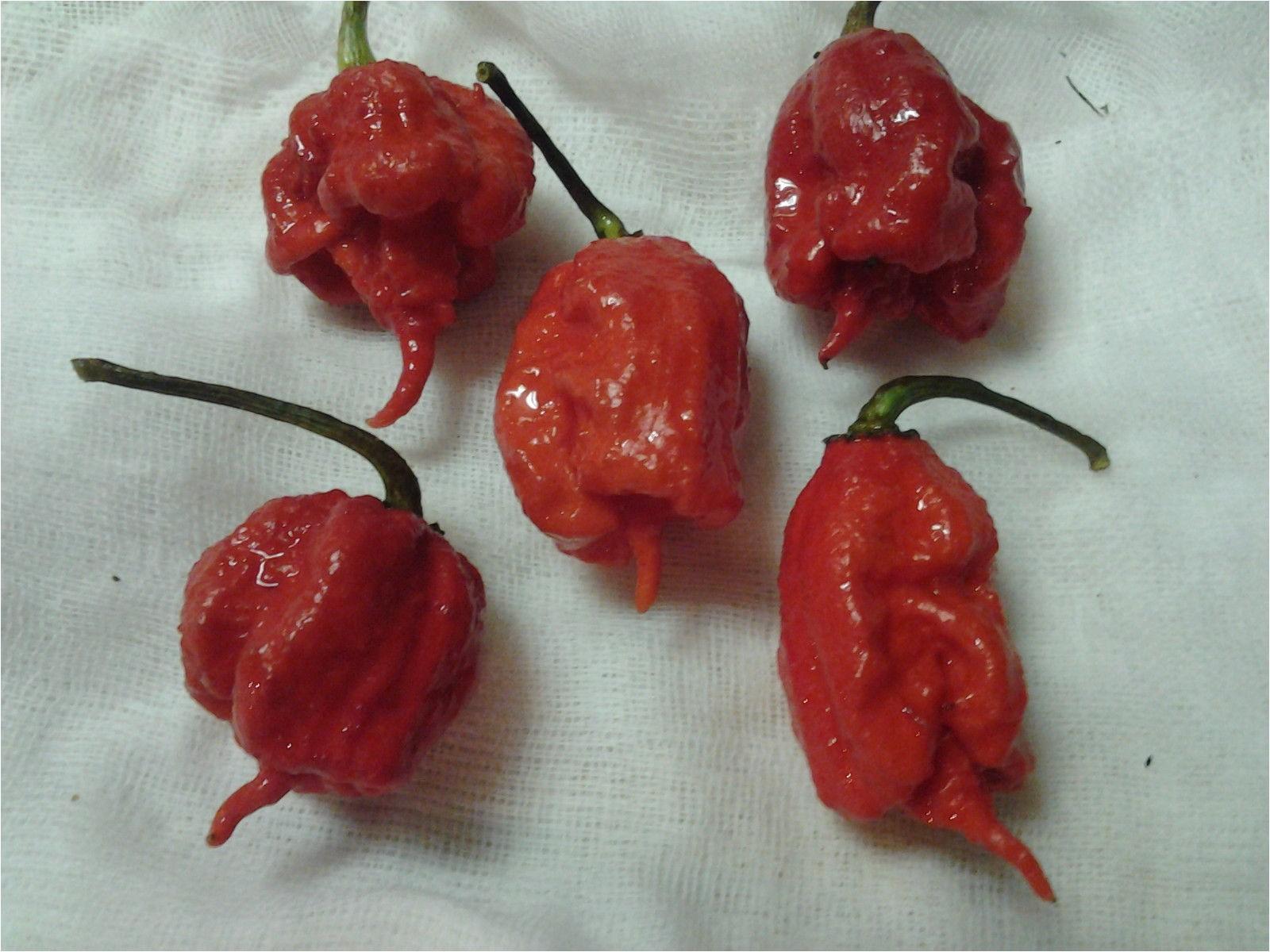 fresh carolina reaper peppers pods