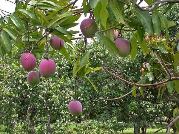 s lychee