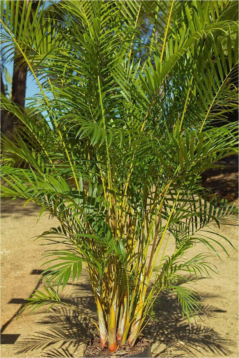 palms are wonderful indoors they are relatively low maintenance attract comparatively fewer pests and provide a truly natural and serene feel to your