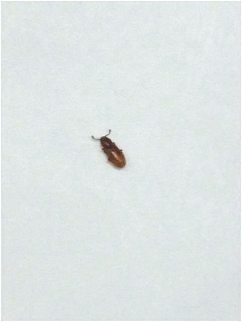 little brown beetles in bedroom