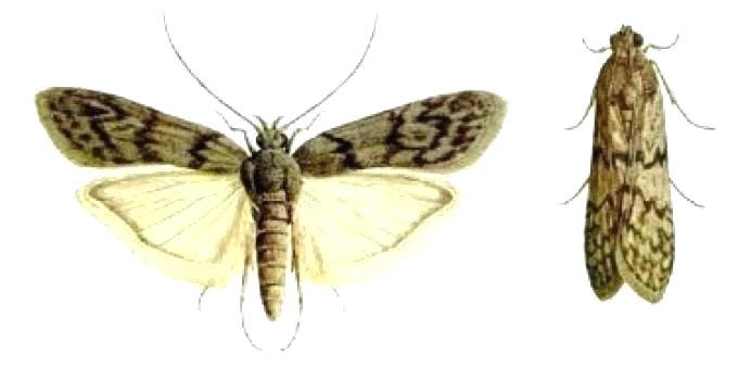 meal moths in bedroom