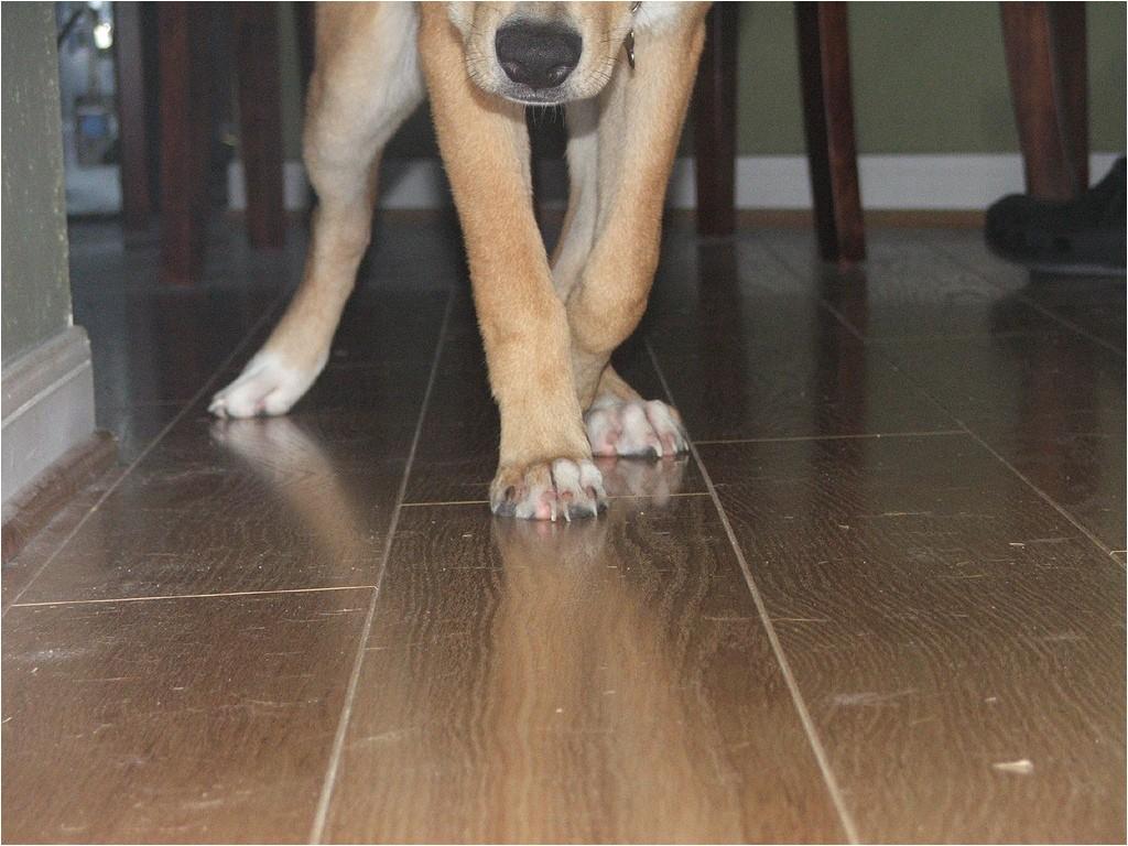 dog nails laminate flooring