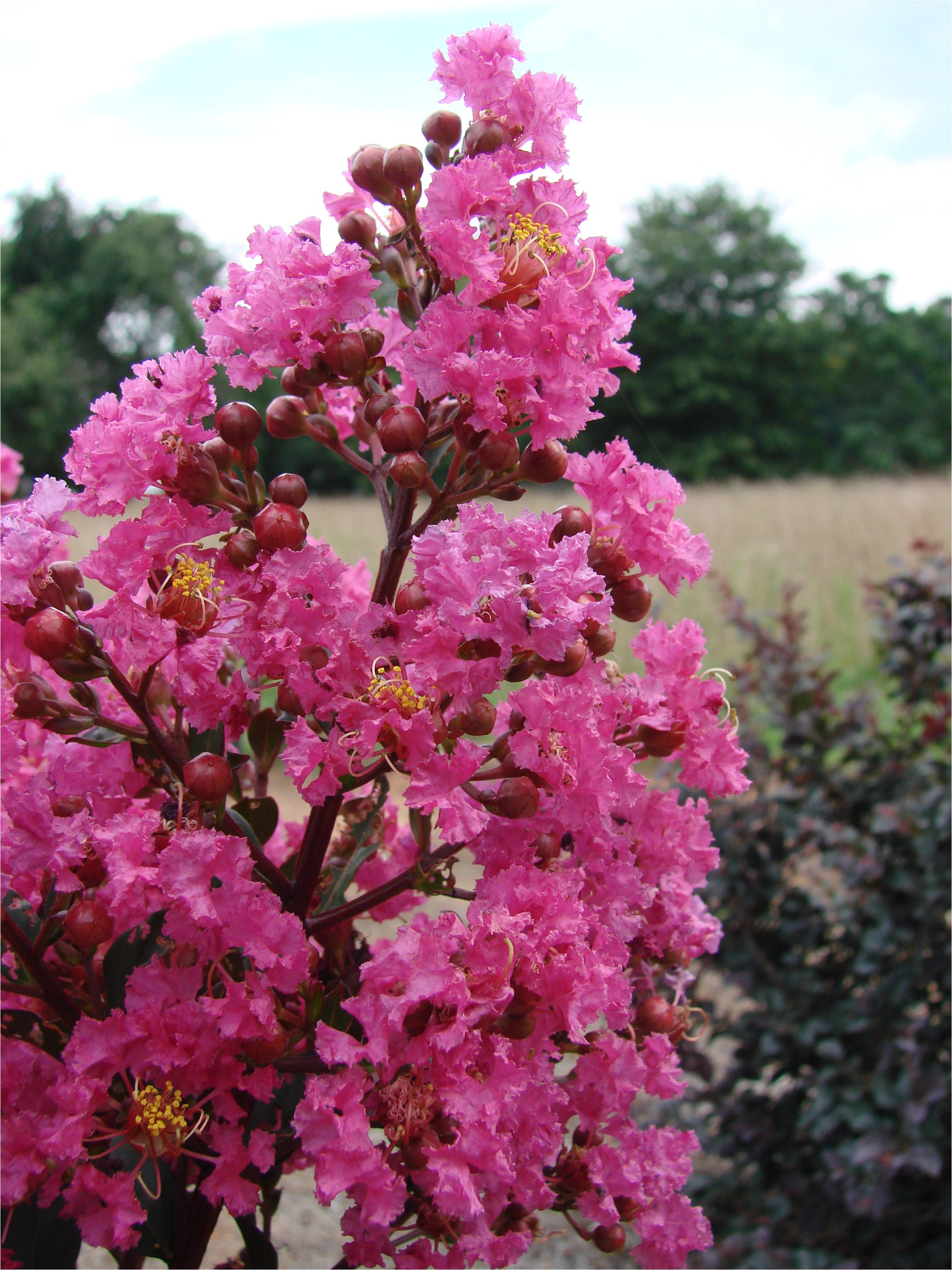 first editionsa plum magic crapemyrtle download as web ready