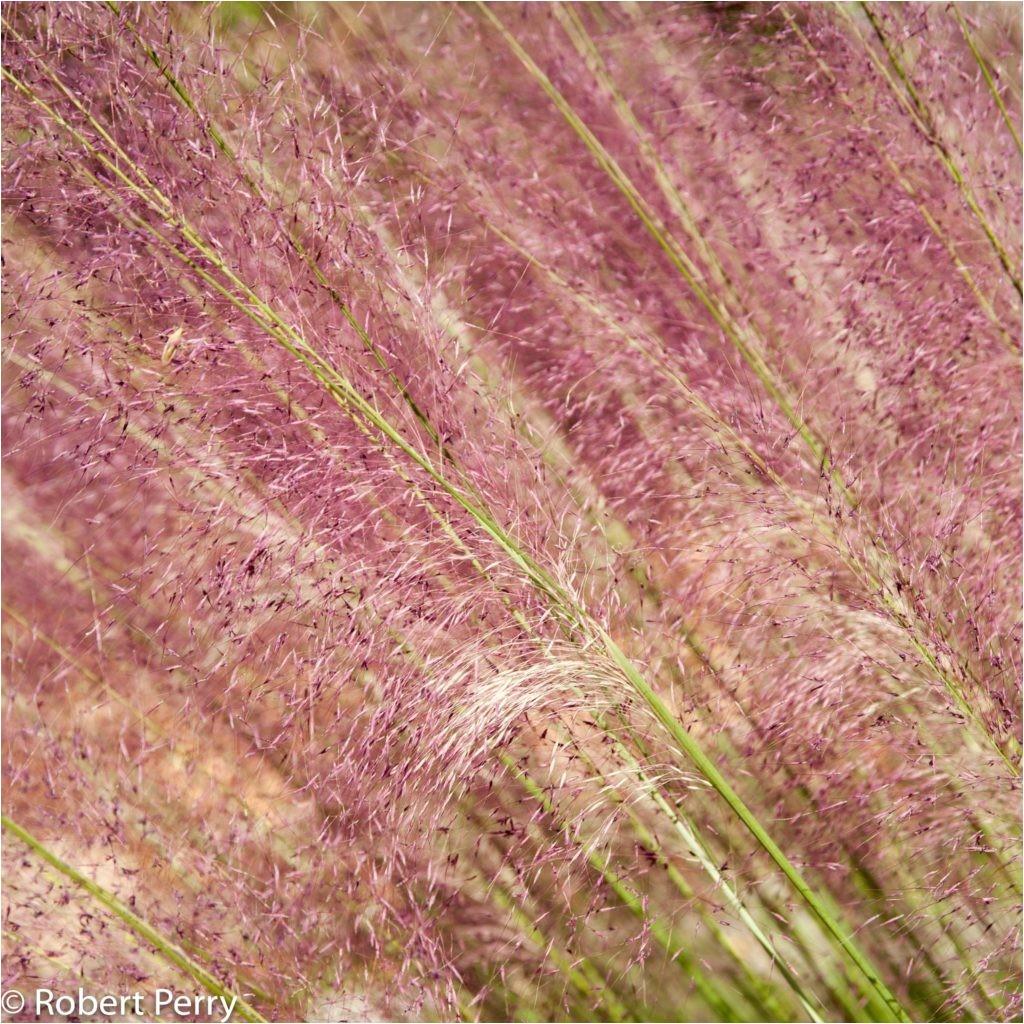 muhlenbergia capillaris regal mist 5