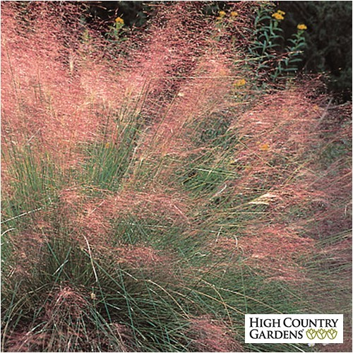 muhlenbergia capillaris regal mist grass