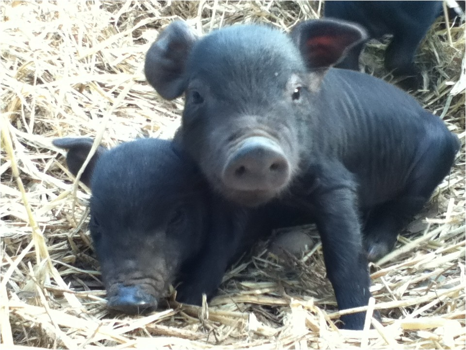 heritage hogs