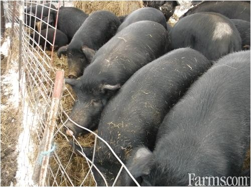 mulefoot butcher size pigs for sale 39493