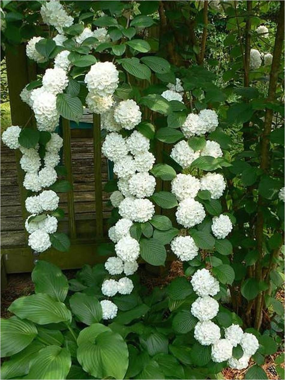 landscaping and outdoor building the best climbing plant for shade white hydrangea best climbing plant for shade