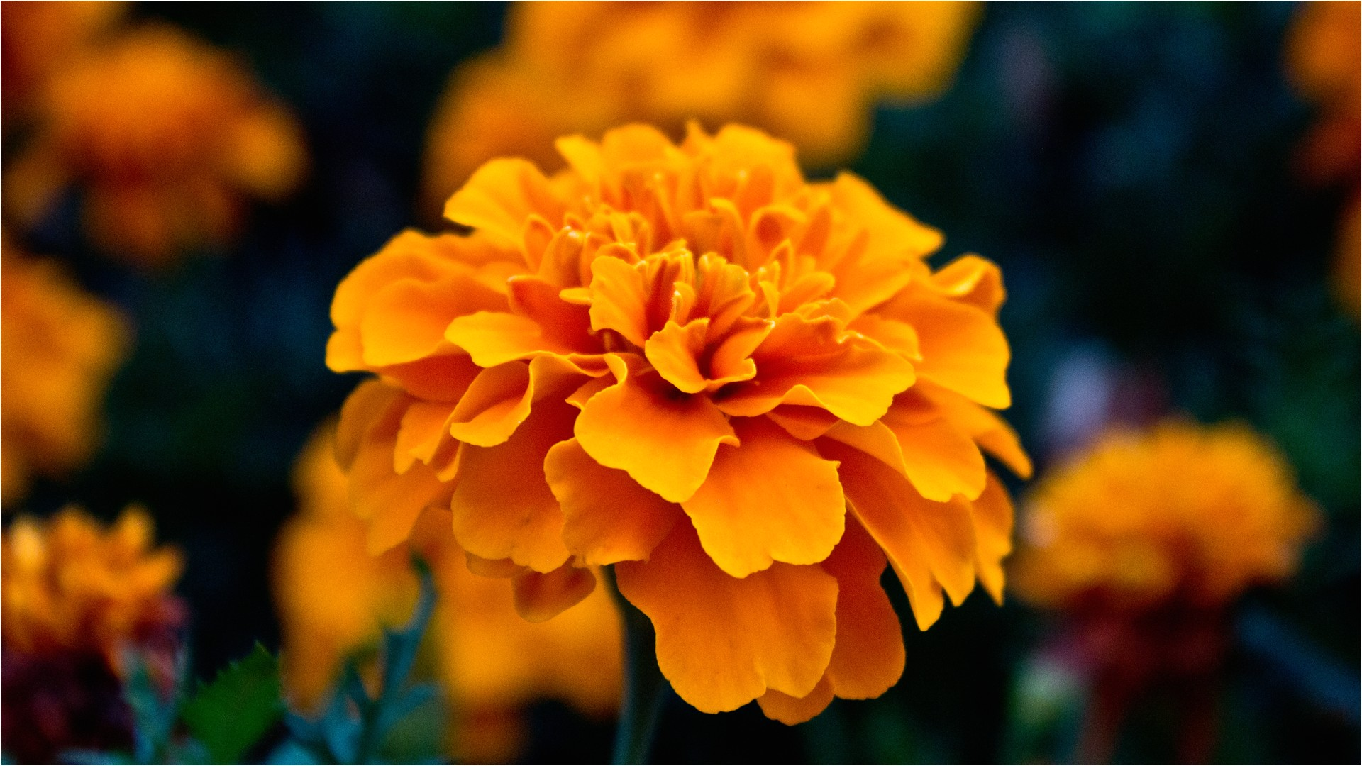 orange flowers names and pictures