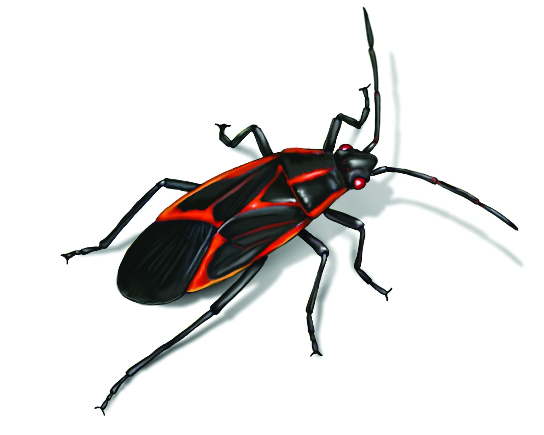 box elder bug illustration