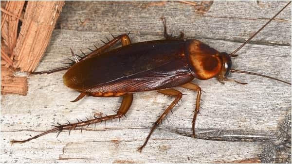 cockroach vs palmetto bug