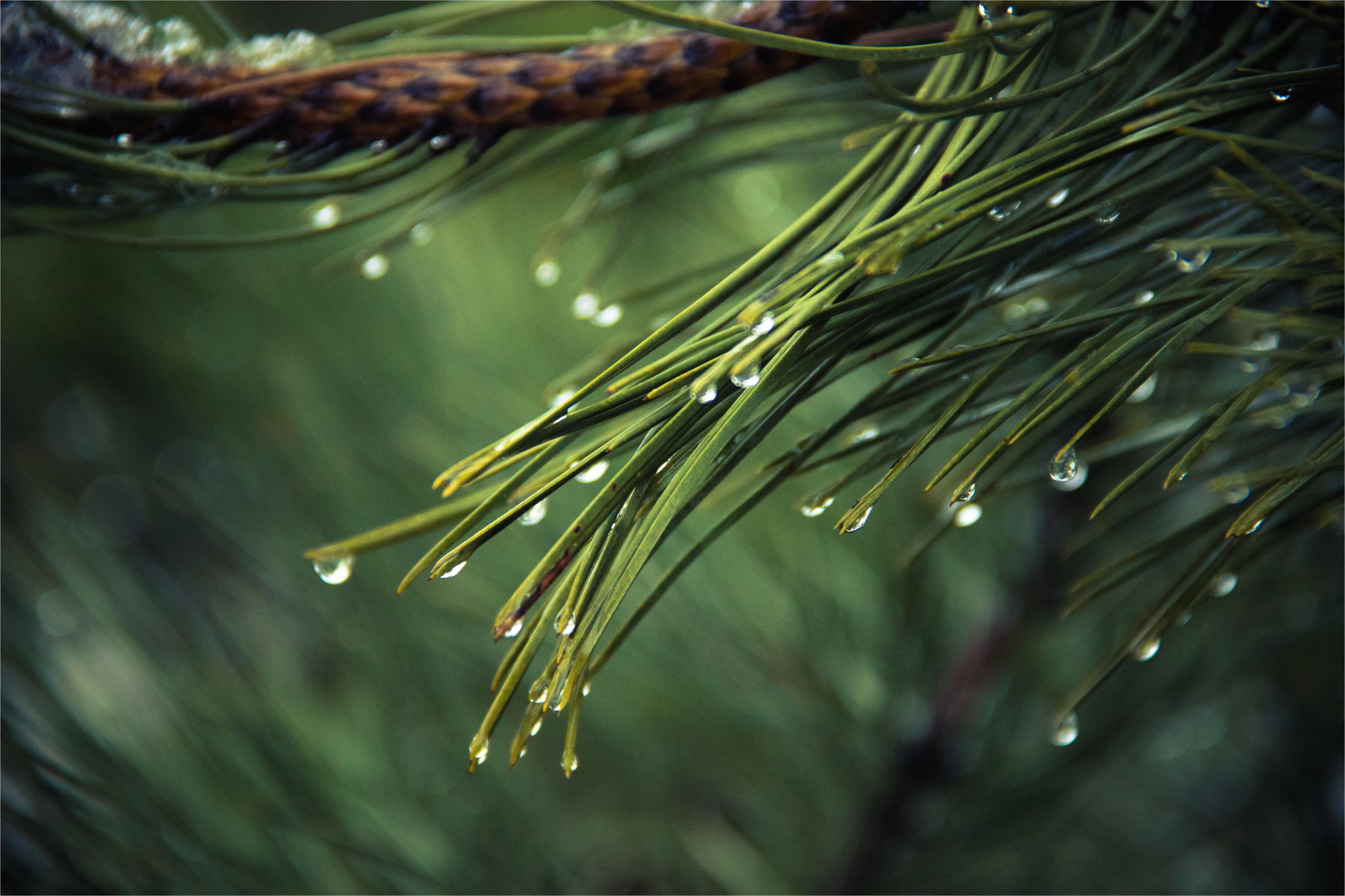 Pine Straw Cumming Ga Cumming Ga Pine Straw Pine Straw Service In Cumming Georgia