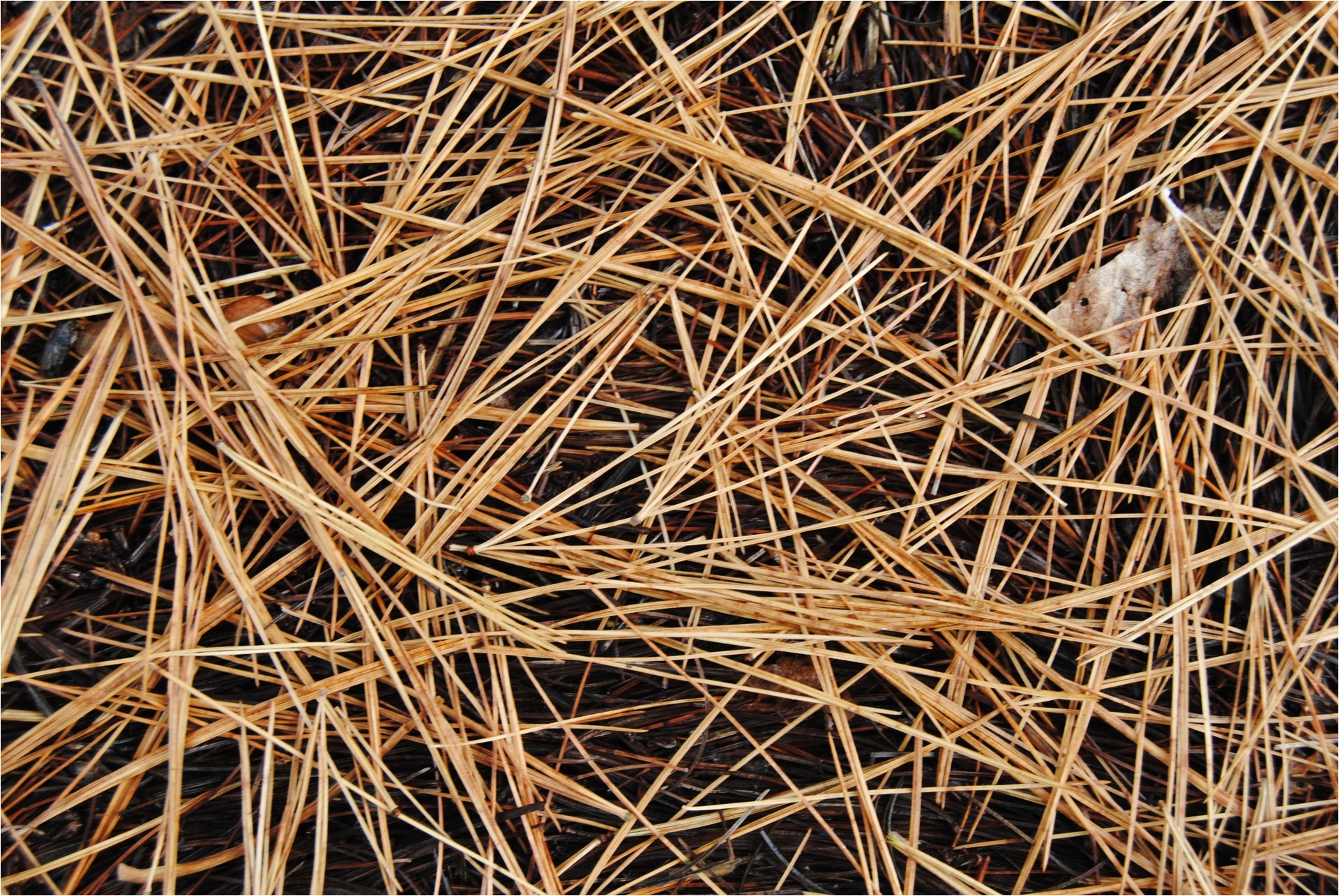 pine needle jpg