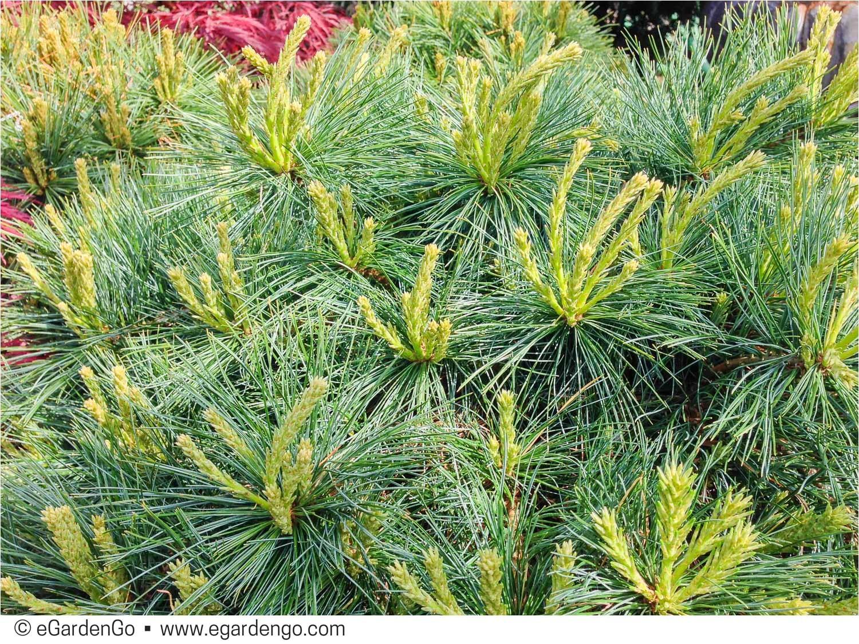 Pinus Strobus Blue Shag Pinus Strobus Blue Shag Common Name Blue Shag Eastern White