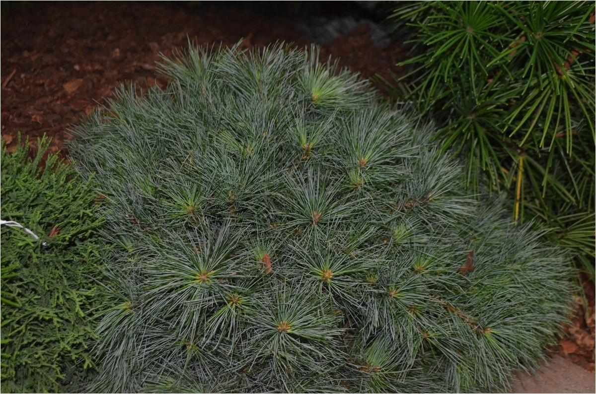 dwarf eastern white pine pinus strobus blue shag