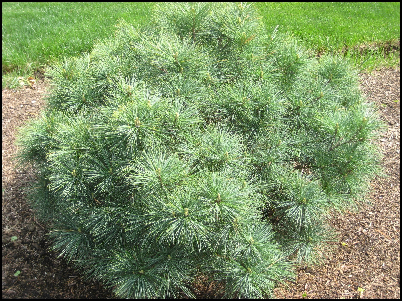 dwarf white pine blue shag