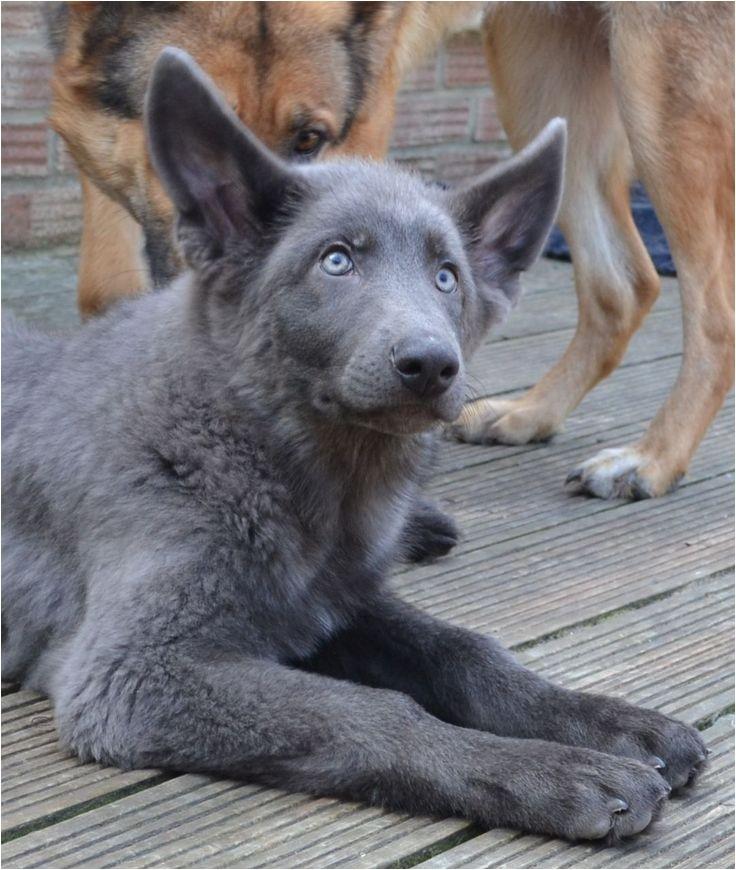 Powder Blue German Shepherd Breeders 162 Best Images About German Shepherds East European