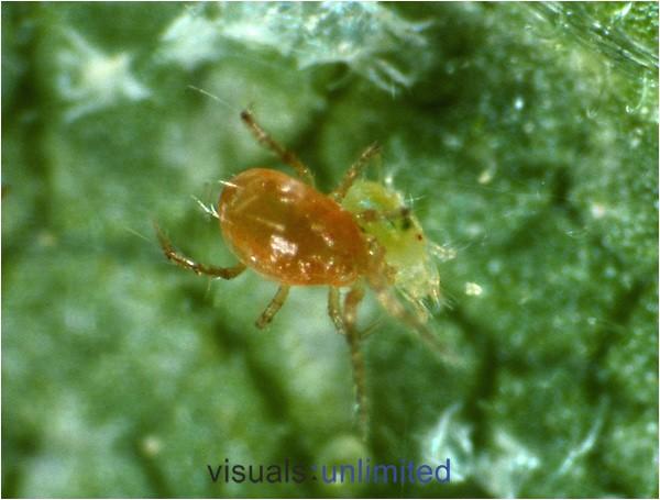 predatory mites for spider mites hznw2waic9orjy3zmmxdkvtpq z6ueuizcesxodidco