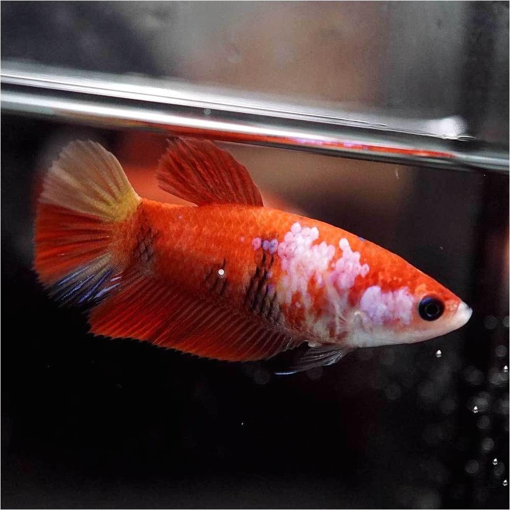 betta fish betta fish ideas bettafish fishbetta live betta fish fancy nemo koi