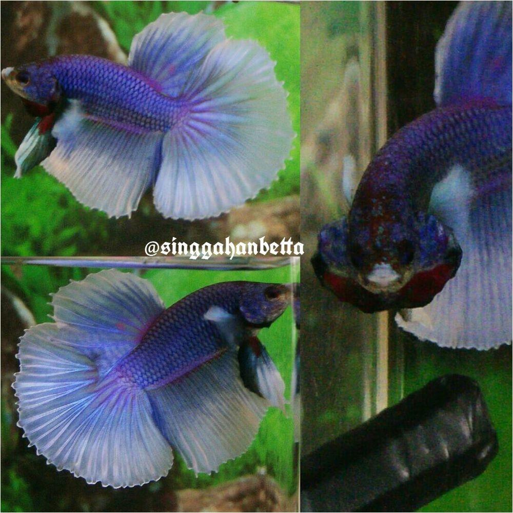 betta fish betta fish ideas bettafish fishbetta live betta fish purple butterfly halfmoon