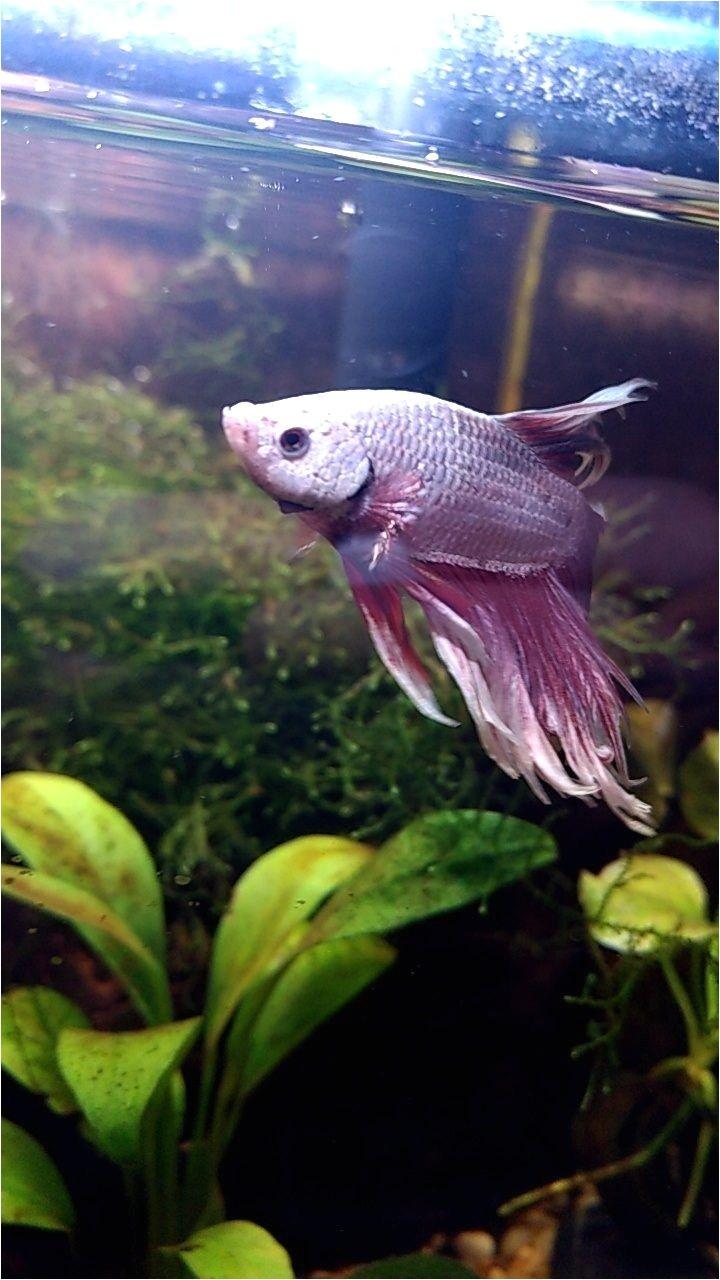 his colors are stunning betta fish bubbles pinterest betta fish betta and fish