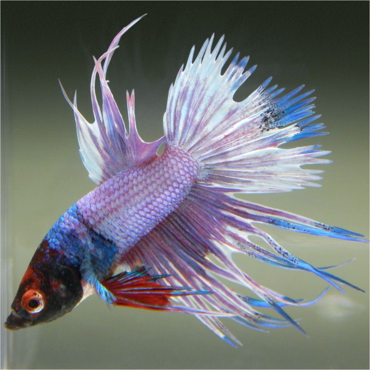 Purple Betta Fish for Sale Live Betta Fish Male Red Mask Fancy Rainbow Marble Crowntail
