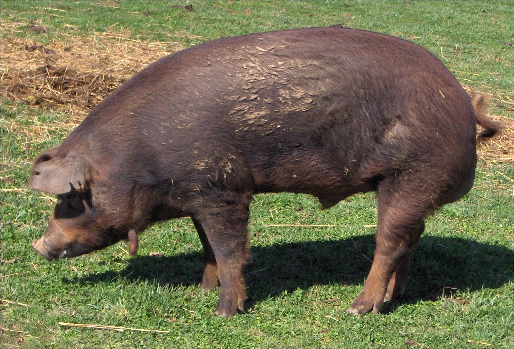 1422 heirloom red wattle hogs