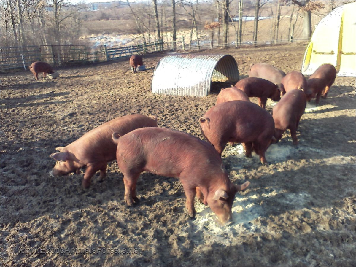 31305 heratage red wattle pigs