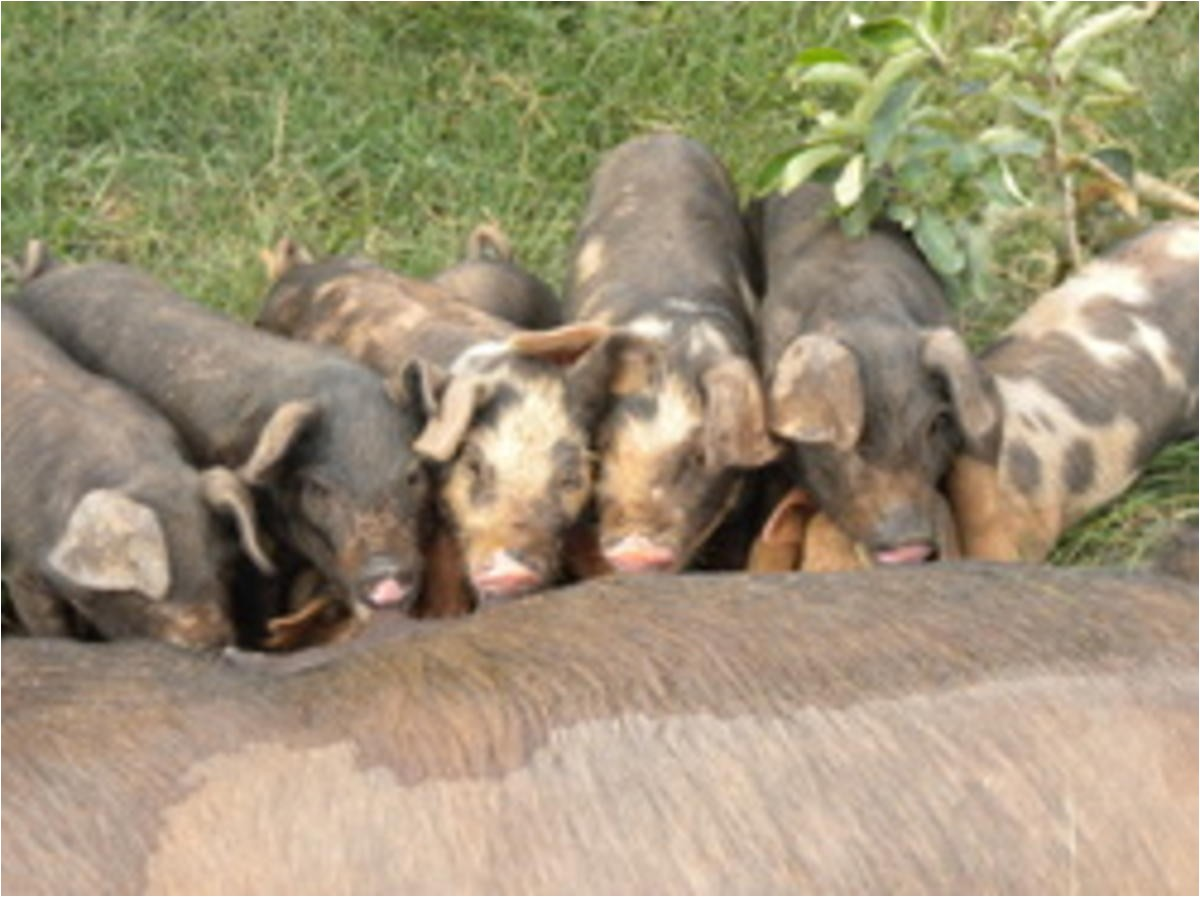 red wattle large black mix hogs for sale