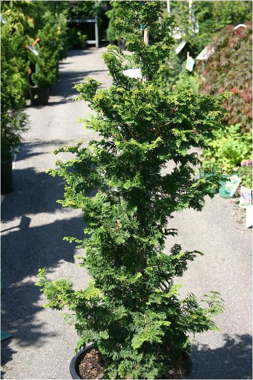 Slender Hinoki False Cypress Eco Terra Landscape Consultants