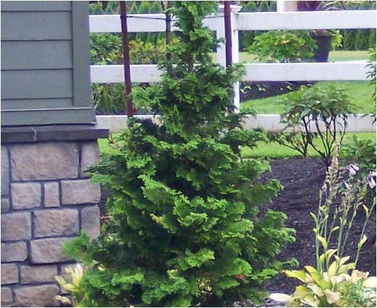 hinoki false cypress slender chamaecyparis obtusa gracilis