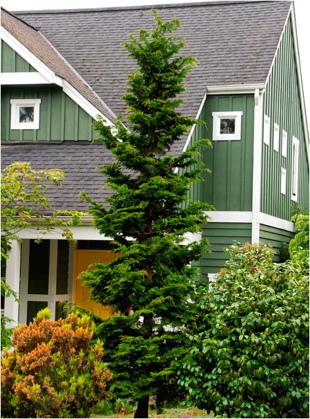 slender hinoki cypress