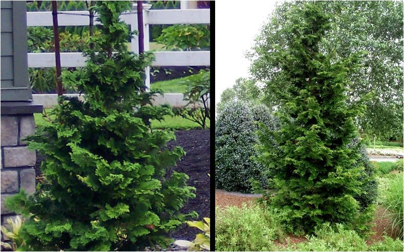slender hinoki cypress p 463