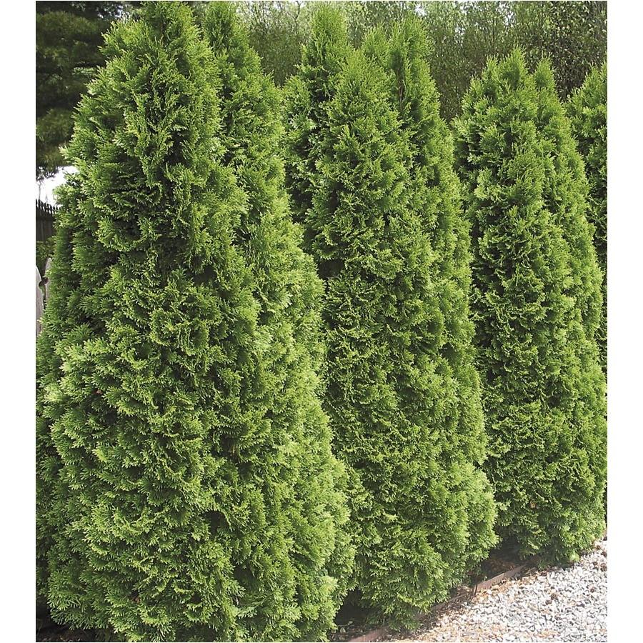 5 gallon emerald green arborvitae screening shrub in pot l5480