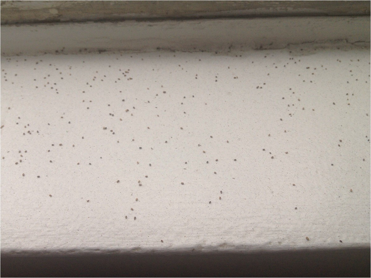 likely solvedtiny spheres that look like poppy seeds on my windowsill they come back after i clean them off what are they