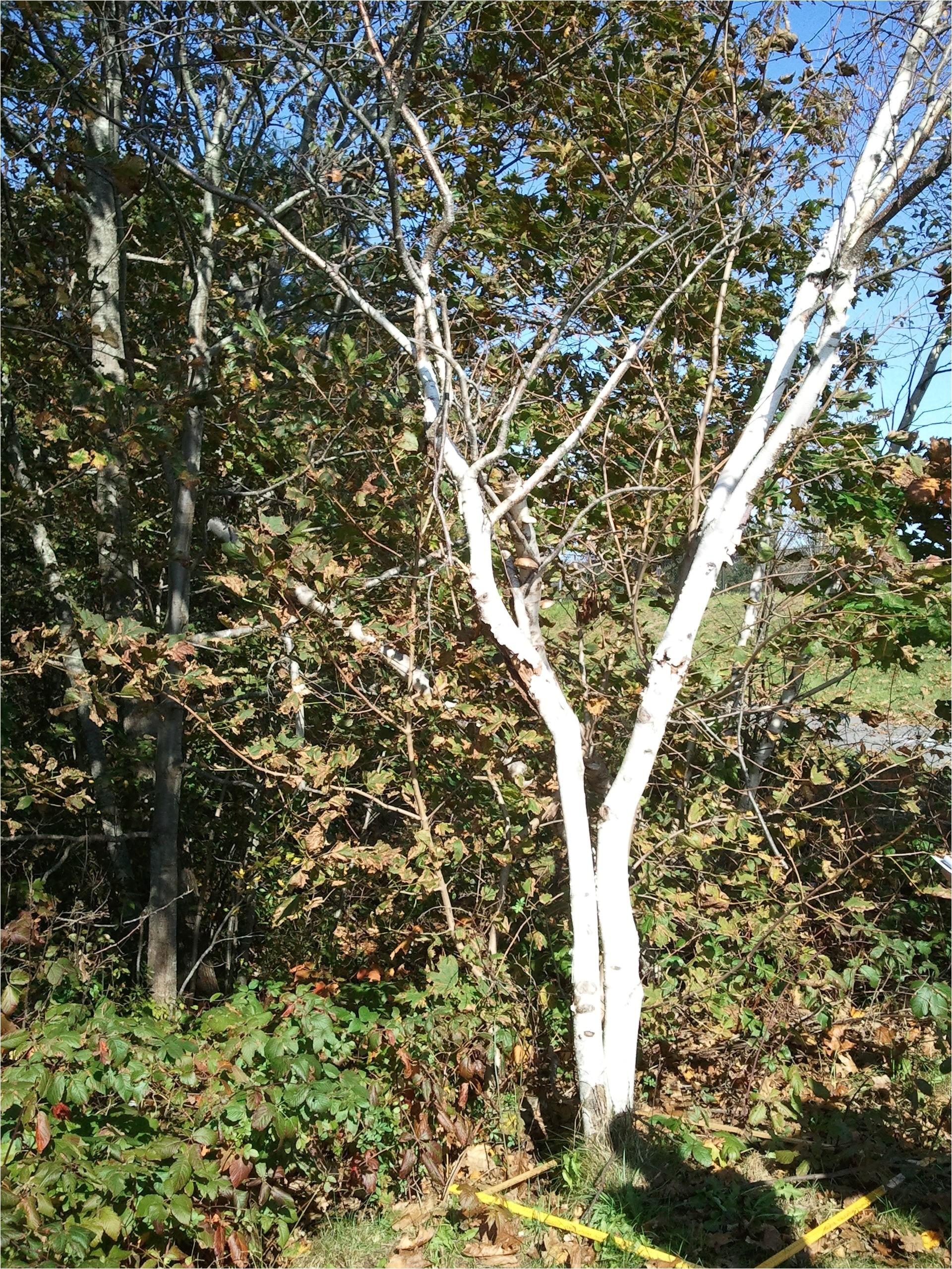 species betula papyrifera was found lawiz birch trees 2011 10 17