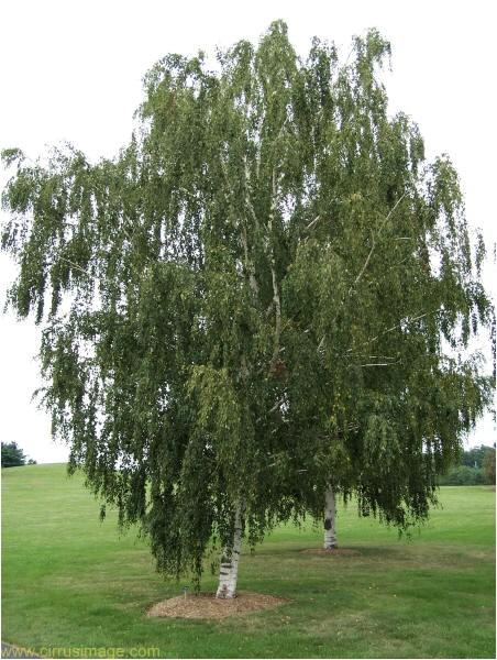 tree white birch