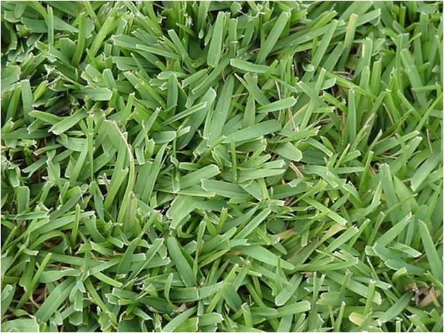 lawn grass types in florida